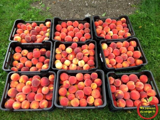 Une récolte de fruits, digne de ce nom et sans devoir vous en occuper, car c'est bien la meilleure protection bio qu'on peut mettre en place de nos jours, pour avoir de beaux fruits sains bien sucrés, juteux et avec du goût