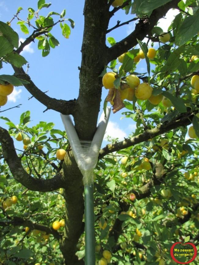 étayage des branches fruitières - trop de fruits sur l'arbre- comment étayer ou soutenir une branche- avec quoi étayer une branche