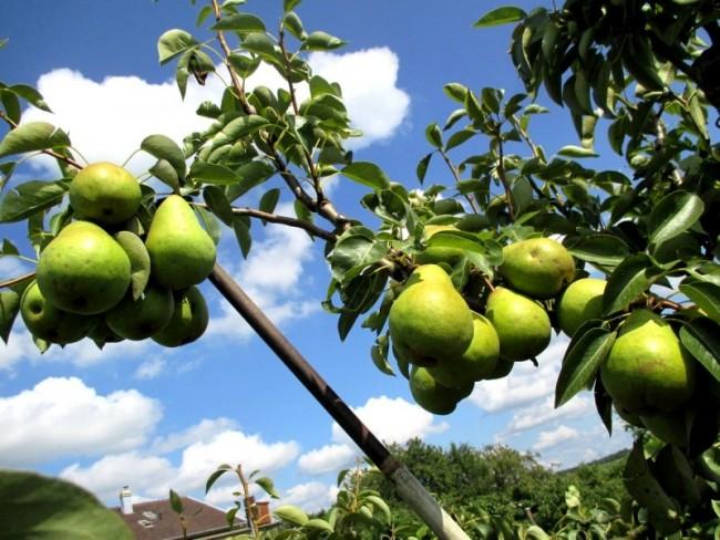 étayer une branche greffée - comment étayer un arbre fruitier greffé- comment soutenir une branche greffés