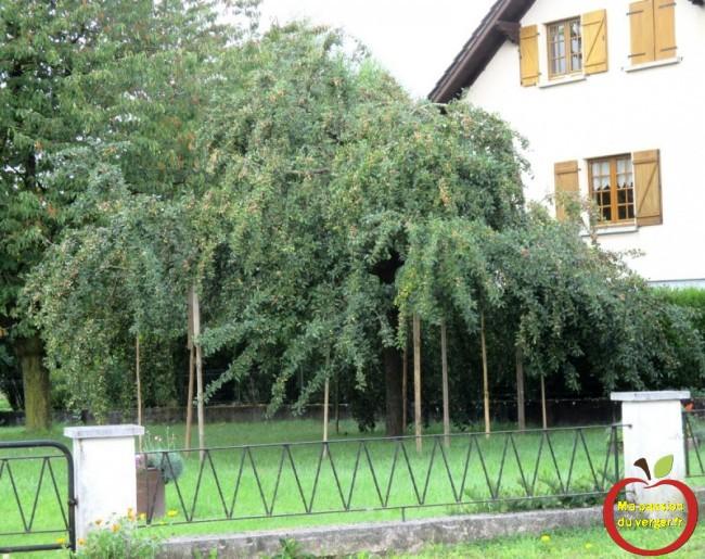 étayage des branches fruitières - trop de fruits sur l'arbre- comment étayer ou soutenir une branche