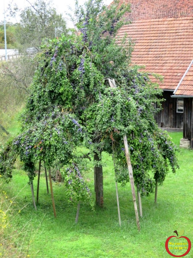 etayer prunier et quetsche grande recolte -branche cassee