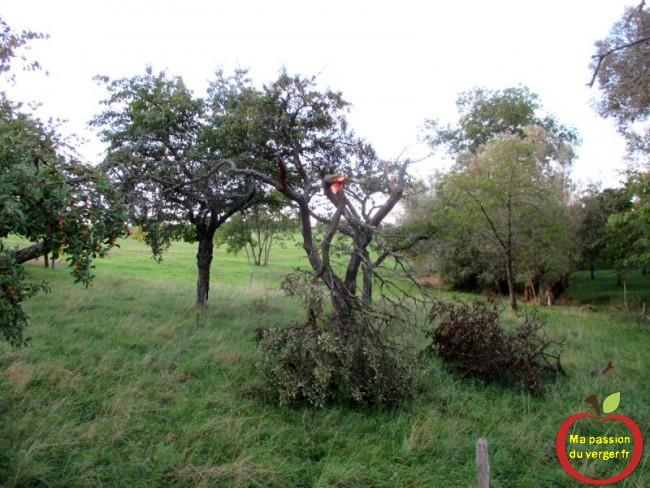 trop de fruits sur l'arbre- comment éviter que les branches casses