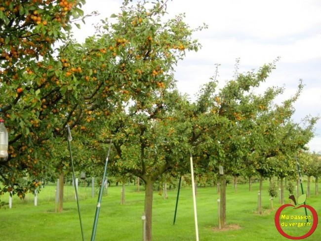 étayer une branche de mirabelle- comment étayer un arbre fruitier- comment soutenir une branche