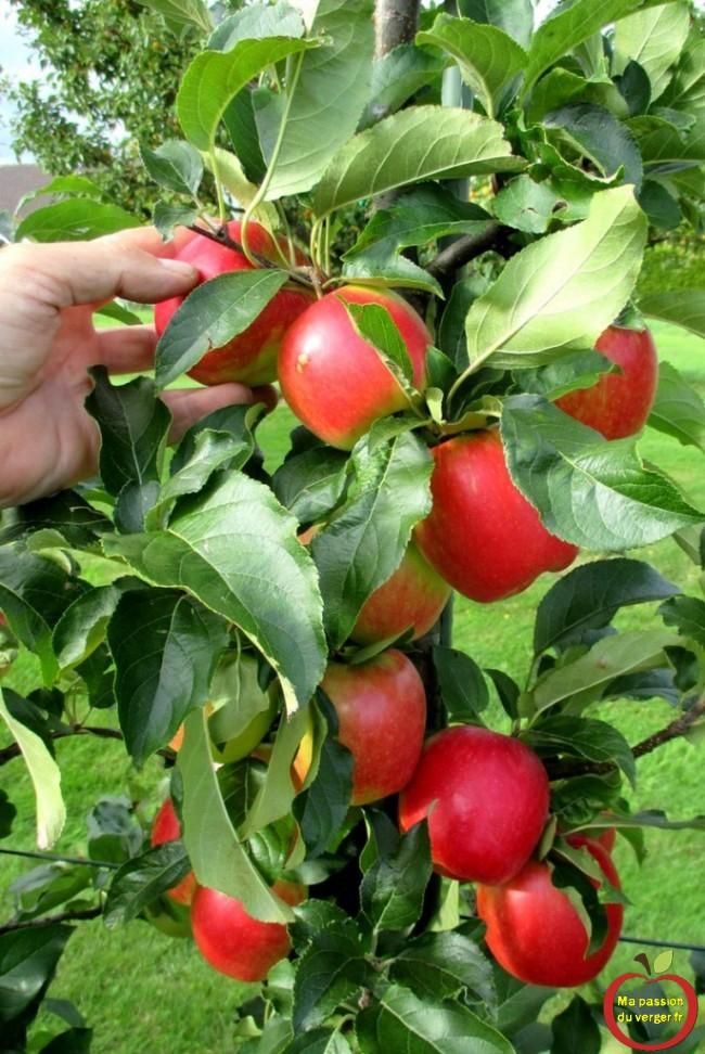 la pomme resistante initiale dans mon verger