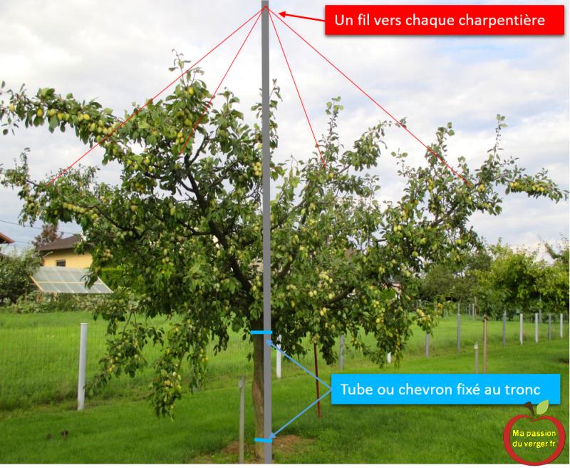 Le haubannage des branches fruitières - comment haubanner une branche - pourquoi haubanner une branche