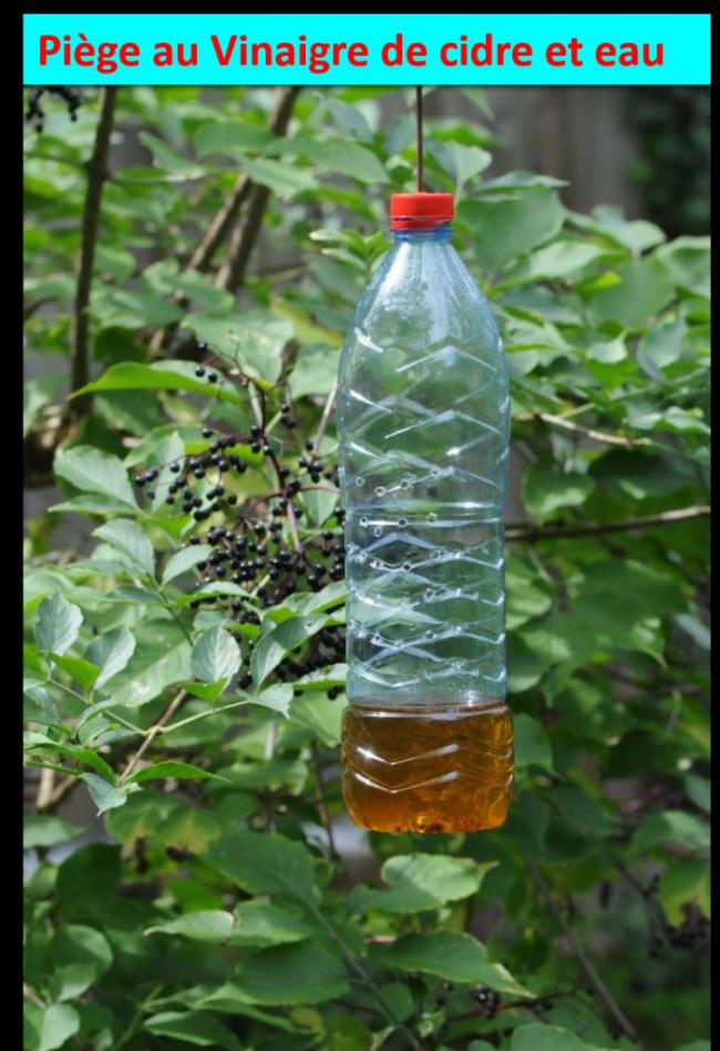 Piège au vinaigre de cidre et eau pour Drosophiles suzukii.