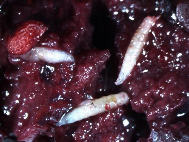 La maille fine de 0.83 mm de ce sac anti-Insecte bloque la Drosophile Suzikki qui ne peut pas venir pondre ses oeufs dans vos fruits. En effet, le ravageur ne mesurant que 2.5 à 3.5mm, un filet anti-insecte spécial à maille serrée est indispensable pour agir contre la drosophile Suzukii.