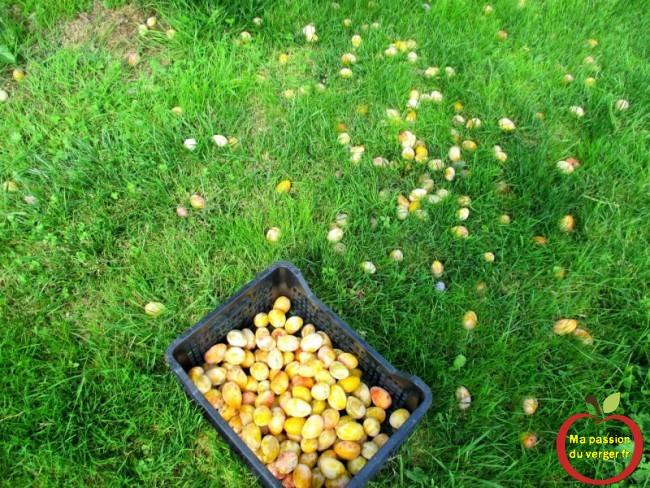On peut ramasser les fruits propres et sains.
