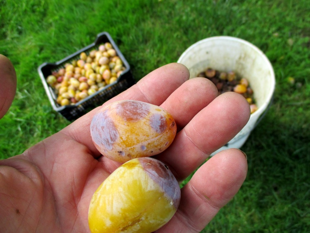 Enlever les fruits pourris.