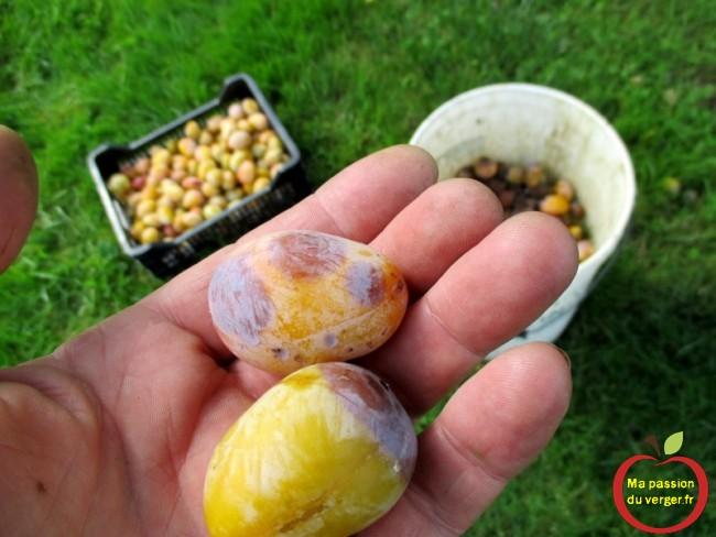 Enlever les fruits pourris. enlever les quetsche pourris pour faire eau-de-vie-