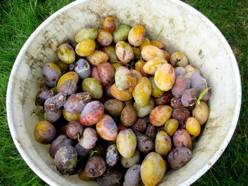 sortir les fruits pouries du verger