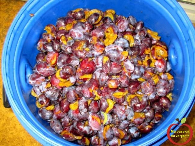 Bien tasser les quetsche pour la mise en fut - comment mettre les fruits en fût- quetsche à bonne maturité pour un bon schnaps - regrevudnoissapamegres