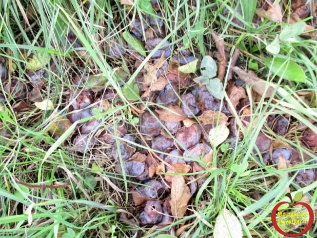les quetsche qui reste au sol, faute de débouché