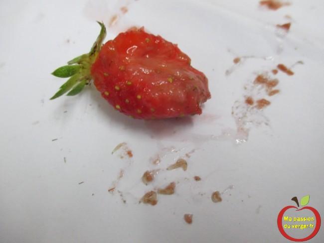 comptage de larves de drosophiles dans une fraise -