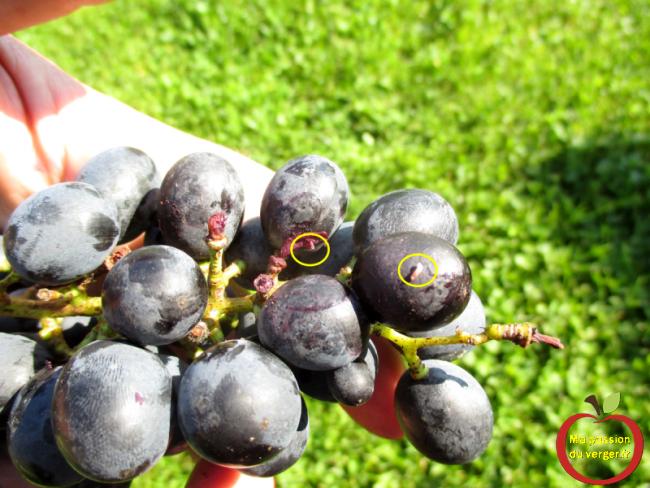 contrôler chaque raisin avant la transformation en vin et en jus-