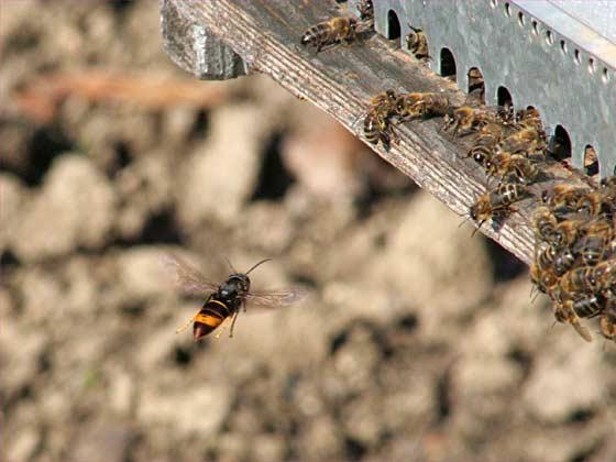 frelon-asiatique-attaque-ruche-abeilles
