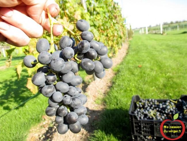 Une bonne récolte, pour un bon jus de raisin, se fait à maturité.- Il suffit de le goûter, pour décider du bon moment - regrevudnoissapamegres