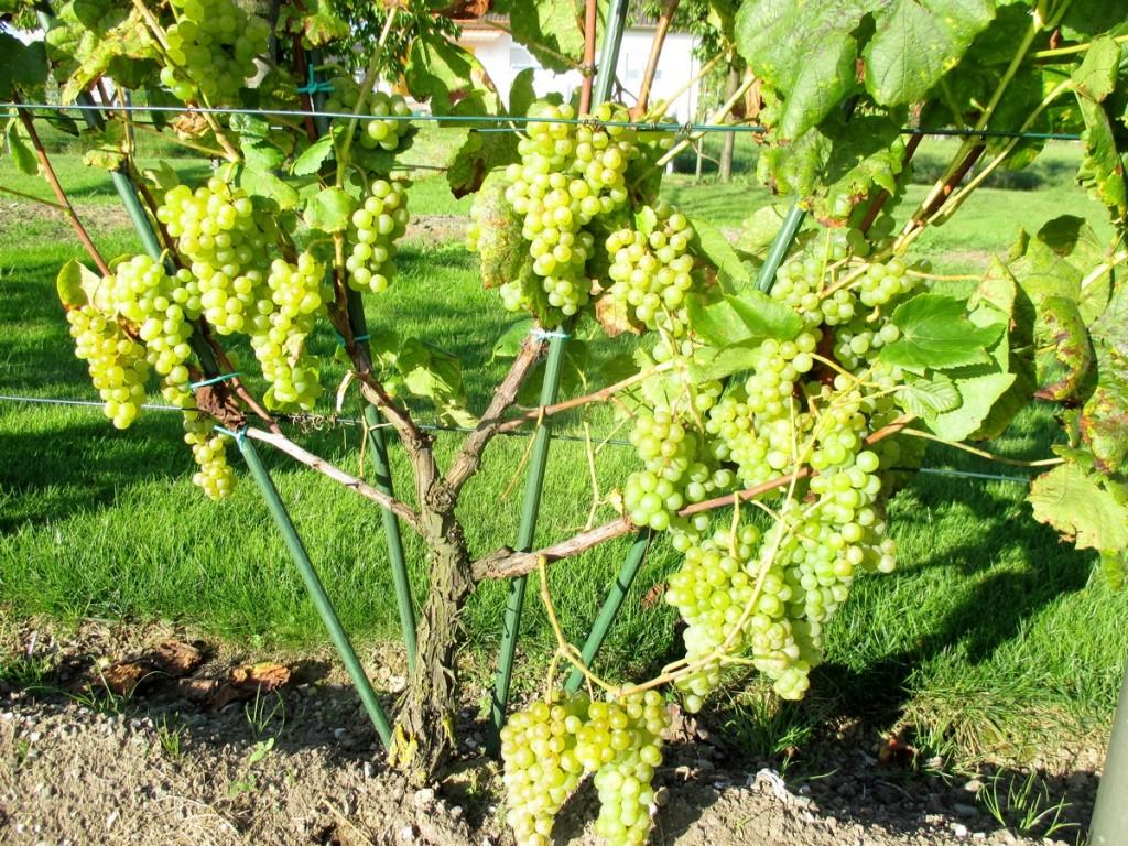 Pour un bon jus de raisin, on préfèrera s'attacher aux arômes et aux tanins.