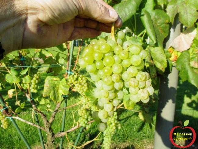 La maturité optimale va être la période où la quantité de sucre va être la plus élevée , pour faire un bon jus de raisin.