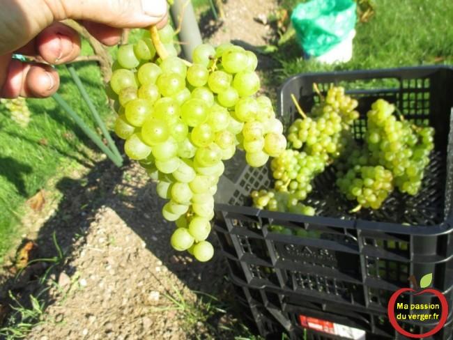 La maturité optimale va être la période où la quantité de sucre va être la plus élevée , pour faire un bon vin de vos raisin.