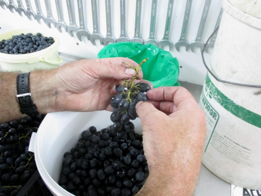 Avec un petite quantité, on va faire l'égrappage manuellement, pour faire son vin bio.