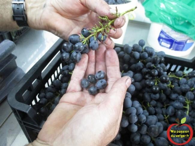 L'éraflage ou l'égrappage du raisin est l'action consistant - après la vendange- à séparer les grains de raisin de la rafle,