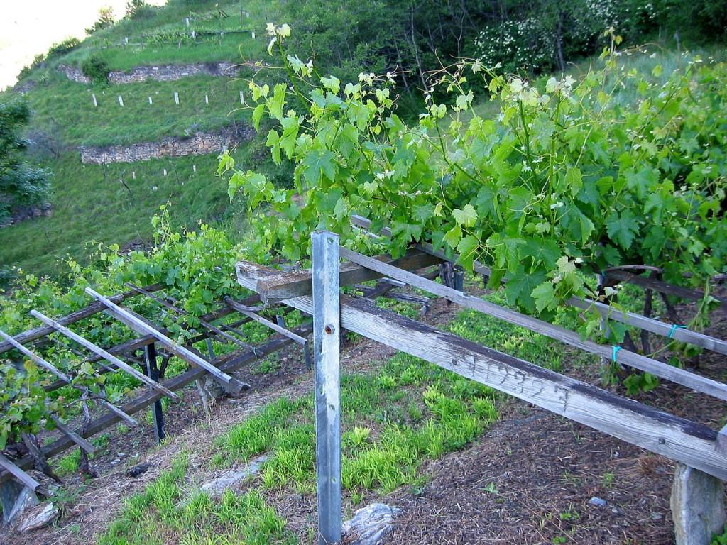 comment fabriquer une treille pour la vigne