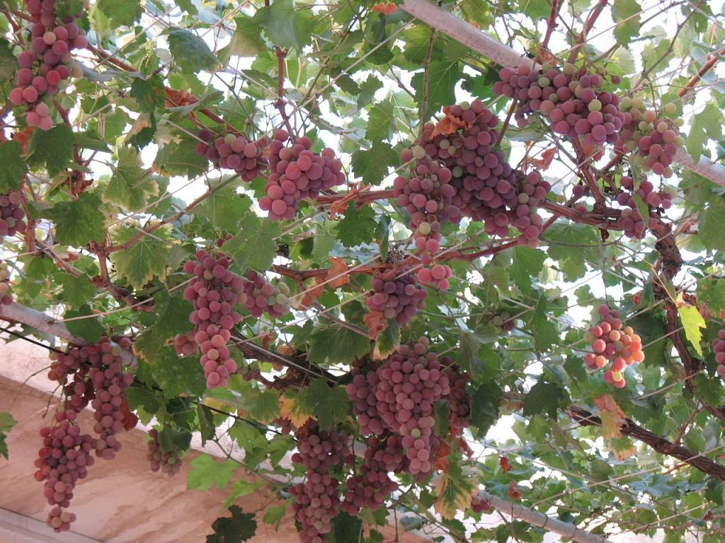 -Vitis_vinifera raisin sur treille