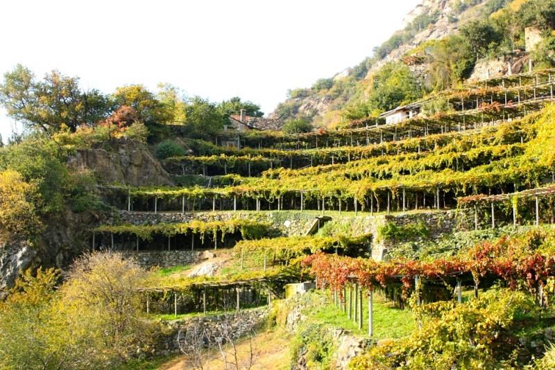 Carema_Piemonte treille pour vigne