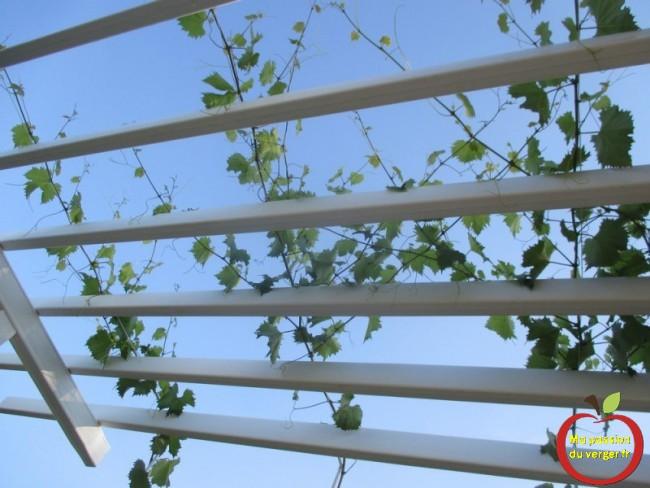 faire pousser une vigne sur treille- comment faire pousser raisin sur pergola