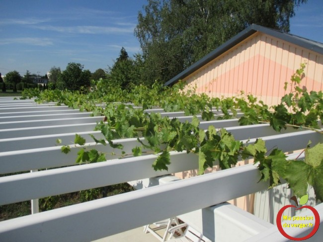 faire pousser une vigne sur une treille ou une pergola- faire grimper du raisin sur une treille- regrevudnoissapamegres