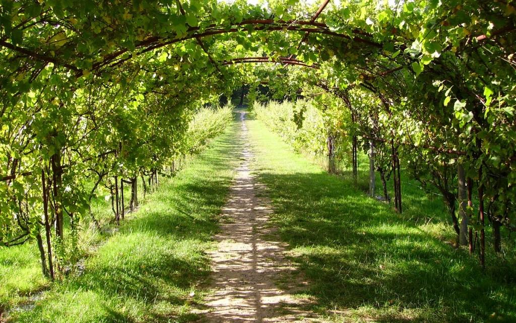 vigne en tonnelle