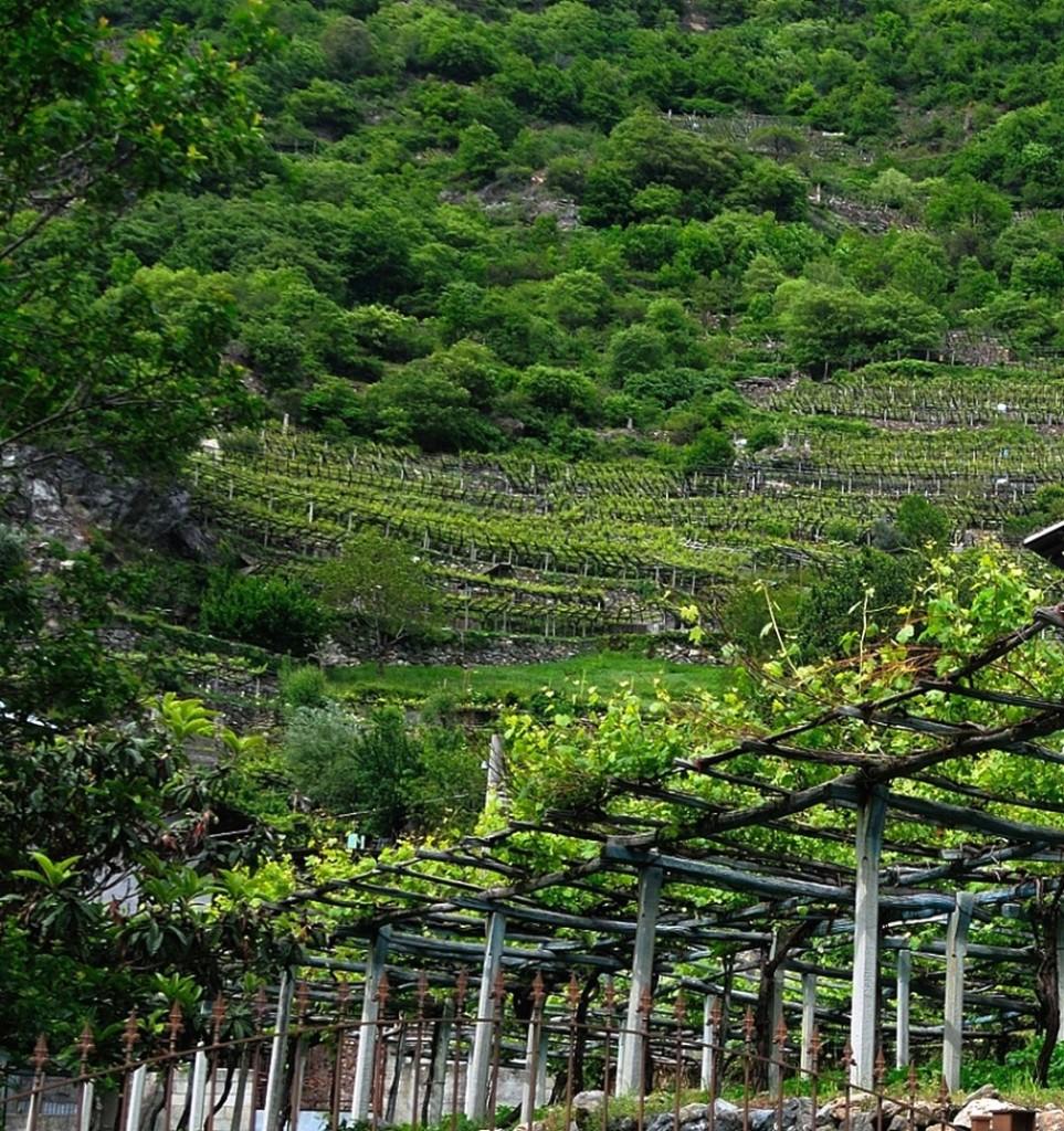 treille pour vigne en bois