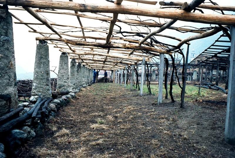 nuovo_vigneto ancien vignoble sur treille