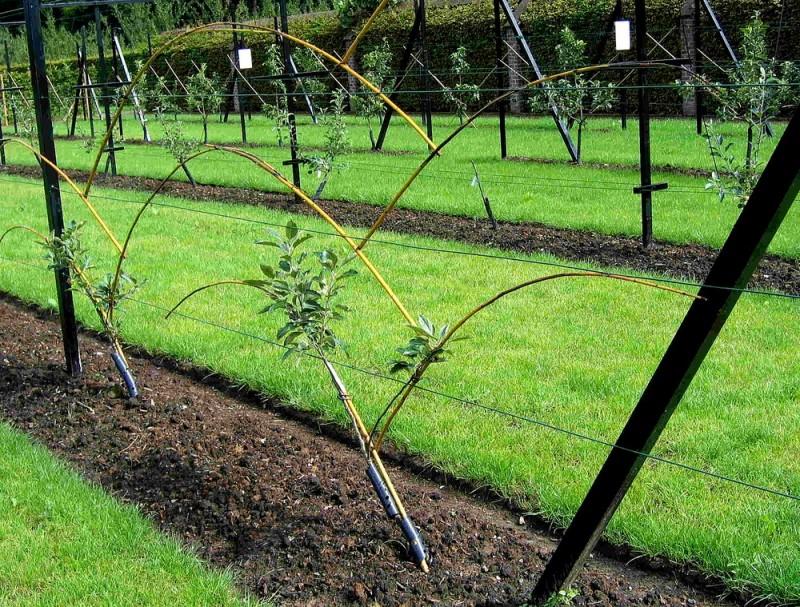-Bambous sur fils, pour former palmette Lepage_fruittreeform