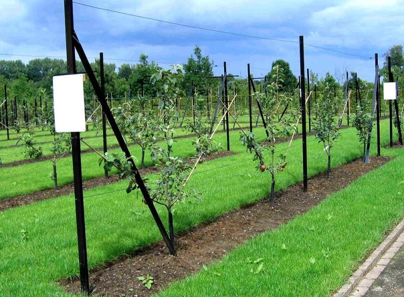 1280px-Spindlebush_fruittreeform