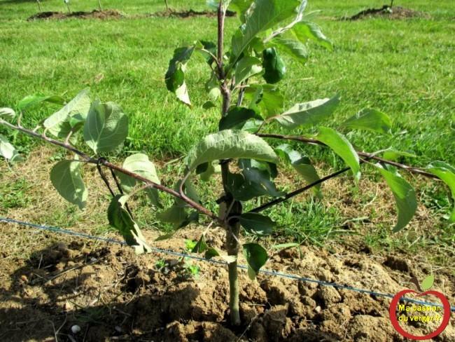 elastique pour arcure, pour la formation de axes, - palmettes - espaliers et pour la mise à fruit des branches fruitières.