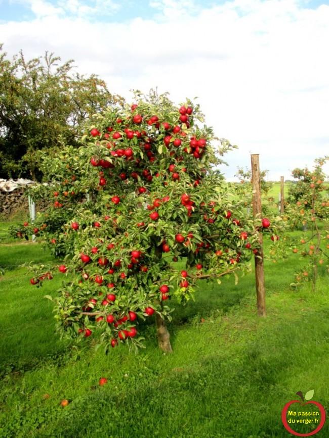 bonne coloration des pommes au verger