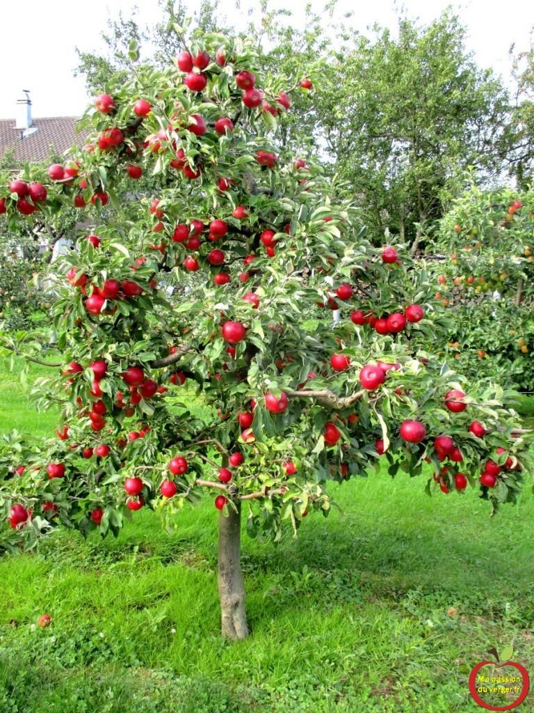 belles pommes rouge sur pommier en axe MM106