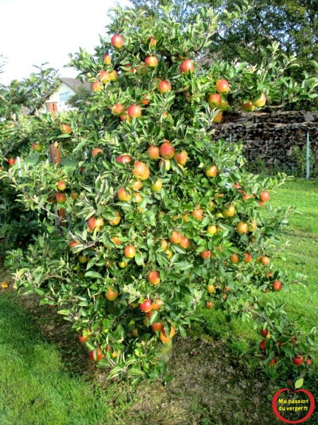 belles pommes en haie fruitière-regrevudnoissapamegres-