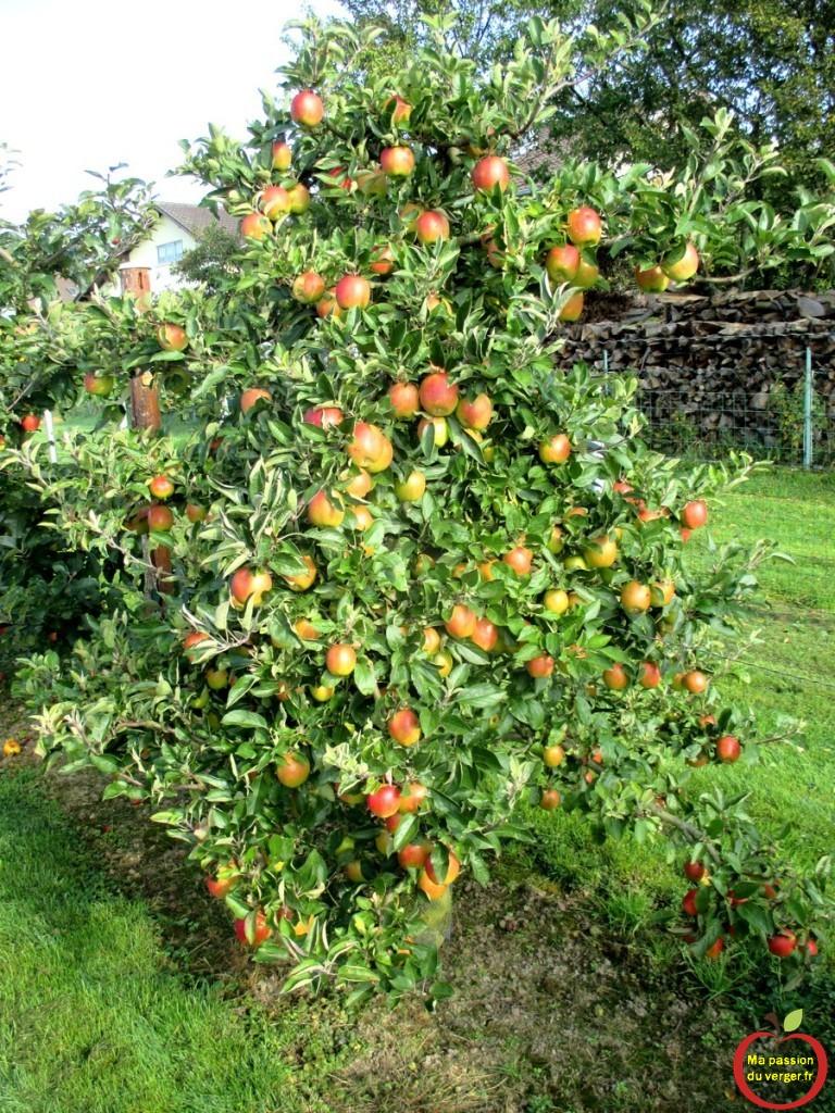 Triangle outillage- Triangle -Résultat de l'éclaircissage, sur le pommier, à la récolte, que des belles grosses pommes.