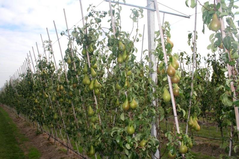 plantation haie fruitiere poire en forme de v