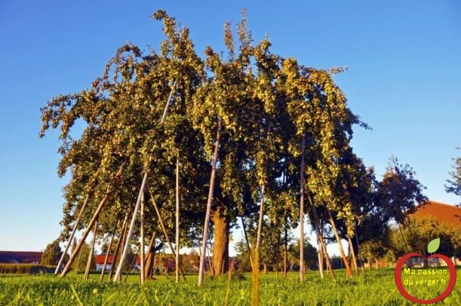 étayage d'un grand pommier - éviter branche cassée sur fruitier- comment étayer un arbre fruitier.