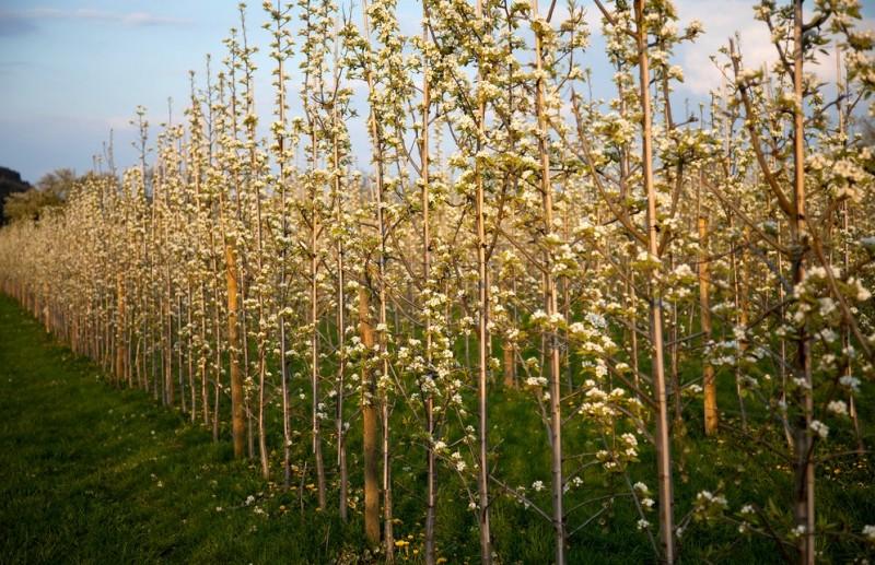 spalierbaum-extrem- birnen und obstbaum