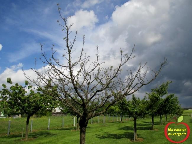 dépérissement du cerisier- dépérissement des racines des fruitier- fruitier avec les pieds dans l'eau.