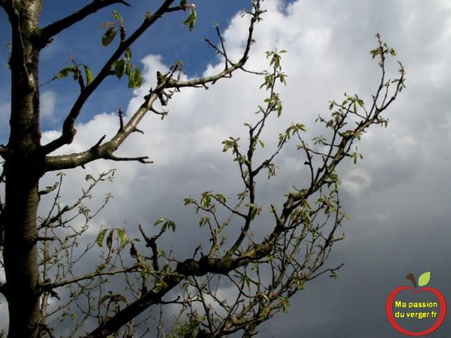 dépérissement du cerisier- moniliose du cerisier