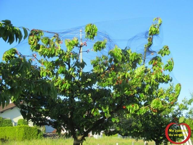 Mise en place du filet, sur le support pour le filet anti-oiseau sur mon cerisier, pour lutter contre les oiseaux dans les cerises