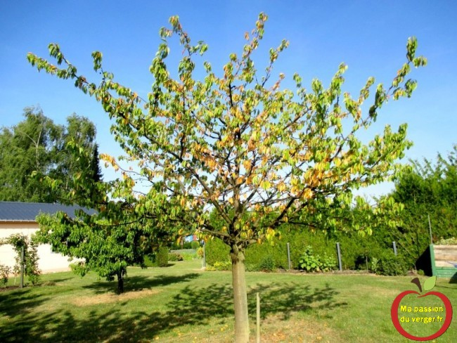 maladie sur cerisier- feuille jaunisse sue cerisier