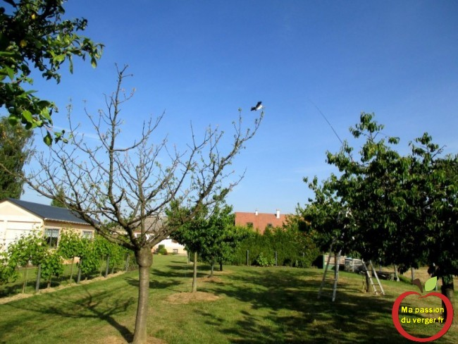sauver un cerisier- cause cerisier malade -  comment soigner cerisier- cause dépérissement cerisier