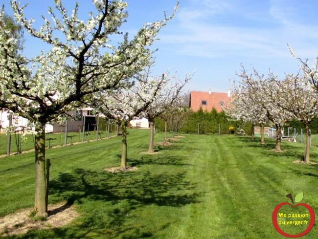floraison des fruitiers - cerisier en fleurs-